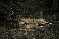 Three Sleeping lion cubs in the Masai Mara National Park, Kenya
