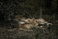 Three Sleeping lion cubs in the Masai Mara National Park, Kenya