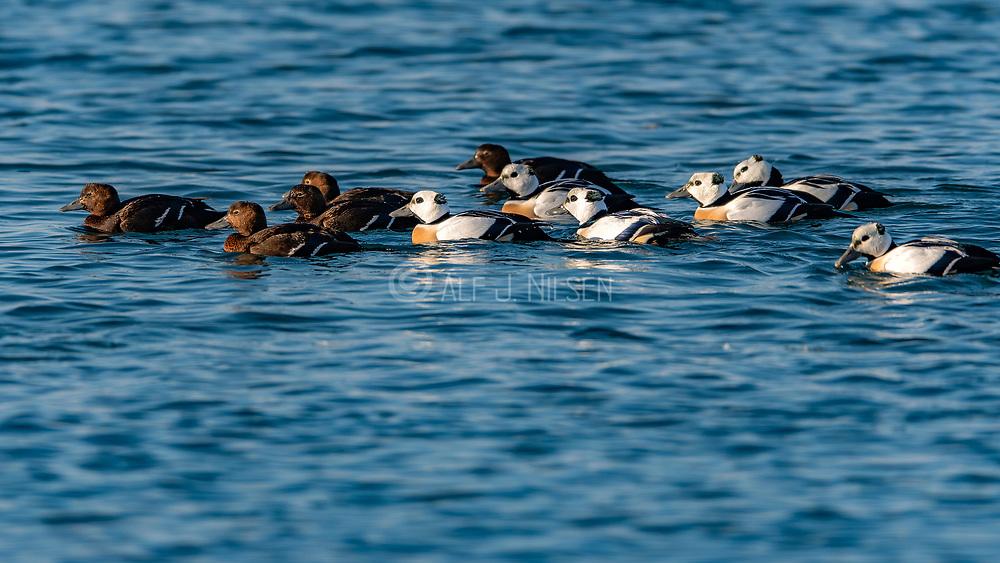 Flock of Steller's eider (Polysticta stelleri) from Vadsö Harbor, Finnmark, Norway.