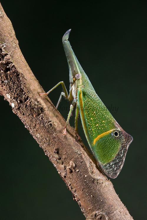 False-eye lantern bug (Odontoptera carrenoi)<br /> Yasuni National Park, Amazon Rainforest<br /> ECUADOR. South America<br /> HABITAT & RANGE: Tropics of Central and South America