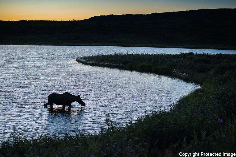 A moose finds vegetation at the bottom of a kettle pond at mile 80 in Denali National Park in Alaska.