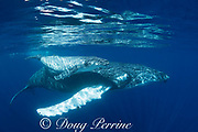 humpback whale mother and young pale calf, Megaptera novaeangliae, swimming just under the surface, with reflections on the surface, near Nomuka Island, Ha'apai group, Kingdom of Tonga, South Pacific