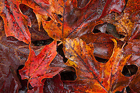 close up detail of colorful maple leaves on the forest floor, green mountains vermont