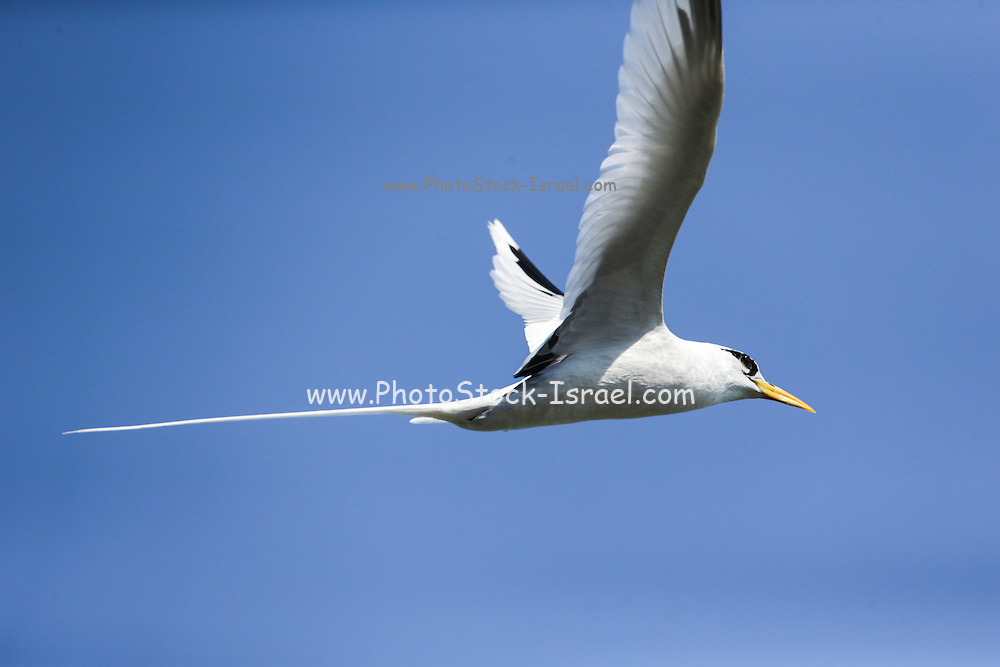 Seagull in flight. Photographed in Madagascar