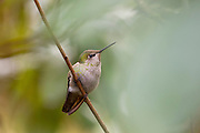 An Anna's hummingbird (Calypte anna) waits for a rainstorm to pass from the cover of a rhododenron in Snohomish County, Washington.