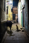 Dogs watch cow, alley, Varanasi
