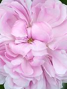 Rosa 'Jacques Cartier' - Portland (Moreau-Robert, 1868) - old rose