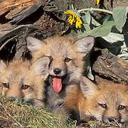 Red Fox, (Vulpus fulva)  Kits at opening of den site in  log. Montana.  Captive Animal.