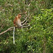 Proboscis Monkey, Tangjung Puting National Park, Borneo.