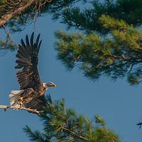A Bald Eagle (Haliaeetus leucocephalus) flies out of a white pine tree near Lake of the Woods, Ontario, Canada.