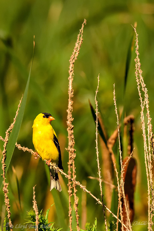 The American goldfinch (Spinus tristis) is a small migratory North American bird found from mid-Alberta to North Carolina during the breeding season, and from just south of the Canada–United States border to Mexico during the winter. It is a small finch, 11–14 cm (4.3–5.5 in) long, with a wingspan of 19–22 cm (7.5–8.7 in). It weighs between 11–20 g (0.39–0.71 oz). <br /> <br /> The song of the American goldfinch is a series of musical warbles and twitters, often with a long note.  <br /> <br /> The American goldfinch displays sexual dimorphism in its coloration with the male being a vibrant yellow in the summer as shown here, and an olive color during the winter.  The female is a dull yellow-brown, brightening only slightly during the summer.