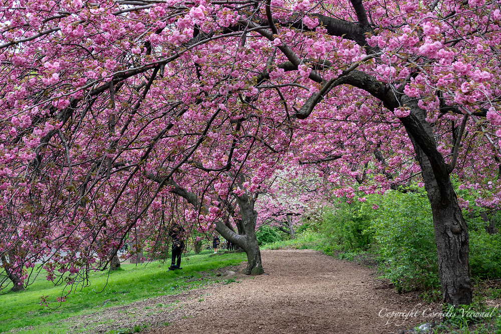 Cherry blossoms west of the Reservoir in Central Park.