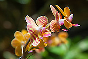 Yellow Orchid with Red Stripes at the Botanical Garden Balboa Park