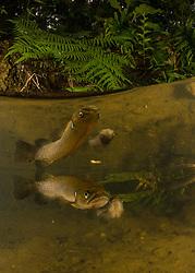 Banded kokopu, Galaxias fasciatus