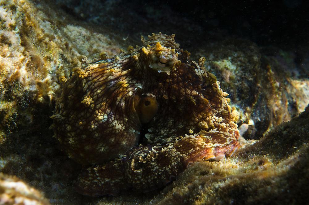 Common Octopus (Octopus vulgaris)<br /> BONAIRE, Netherlands Antilles, Caribbean<br /> HABITAT & DISTRIBUTION: Sea grass beds, areas of sand and rubble & reefs.<br /> Florida, Bahamas & Caribbean.
