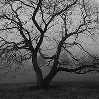 """""""Old Gnarly"""" B&W <br /> <br /> Beautiful gnarled old tree within thick fog! A lovely moody image in B&W!!<br /> <br /> All about Fog by Rachel Cohen"""