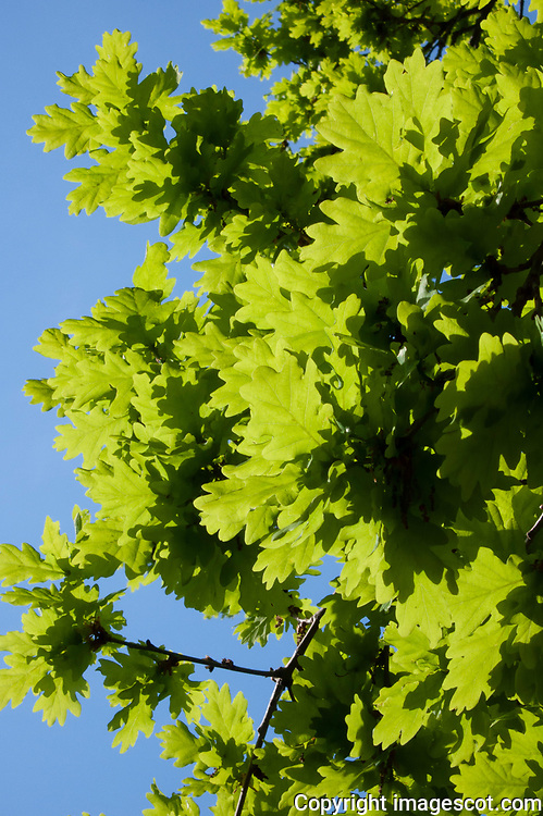 Oak leaves, spring<br /> *ADD TO CART FOR LICENSING OPTIONS*