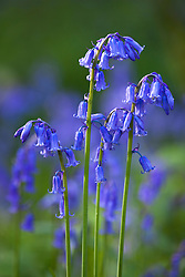 Bluebell growing wild in a wood. Hyacinthoides non-scripta
