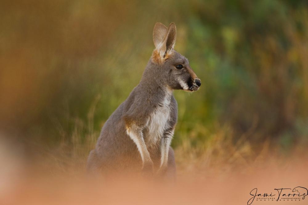 A female red kangaroo (Macropus rufus)  profile showing the white stripe,  Sturt Stony Desert,  Australia