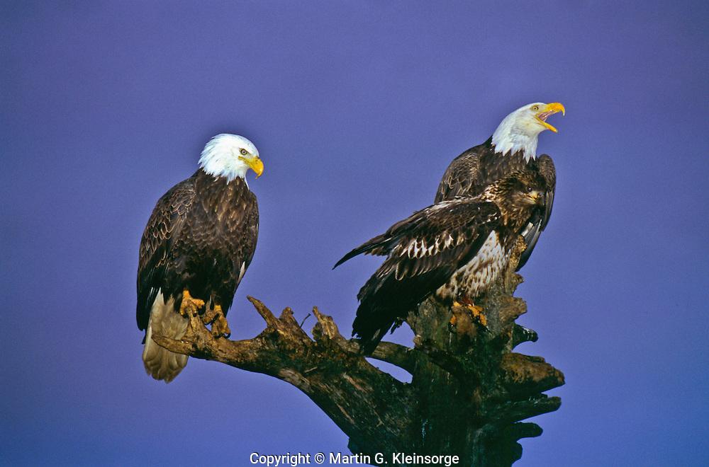 Mature and immature Bald Eagles (Haliaeetus leucocephalus) on a old tree stump.  Homer Spit, Alaska.