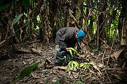 NO WEB/NO APPS - Exclusive. (Text available) A man picks plantain bananas at his 'chacra' (piece of land), in 'Palma Real' native community, near Puerto Maldonado, Peru on July 17, 2017. The Amazon rainforest is famous as 'The Lung of the Earth', but also for the presence of numerous native communities, who have always lived isolated and in close contact with nature for generations, used to seek for food and medicines and to build items directly from the environment in which they live. The unstoppable rise of globalization has drastically changed their needs, expectations and consequently their way of life. Located in the Tambopata National Reserve, on the border between Peru and Bolivia, the native Comunidad Palma Real is one of the clearest examples of this change. Living on the banks of the Madre de Dios River since approximately 1976, Palma Real comprises about 300 people part of the nomadic community Ese-Eja, established in the Amazon rainforest of Peru before the Spanish colonization. Photo by Giacomo d'Orlando/ABACAPRESS.COM