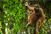 Adult female Walimah with one month old infant.<br /> Holding a leaf in mouth before eating it.<br /> <br /> Bornean Orangutan <br /> Wurmbii Sub-species<br /> (Pongo pygmaeus wurmbii)<br /> <br /> Gunung Palung Orangutan Project<br /> Cabang Panti Research Station<br /> Gunung Palung National Park<br /> West Kalimantan Province<br /> Island of Borneo<br /> Indonesia