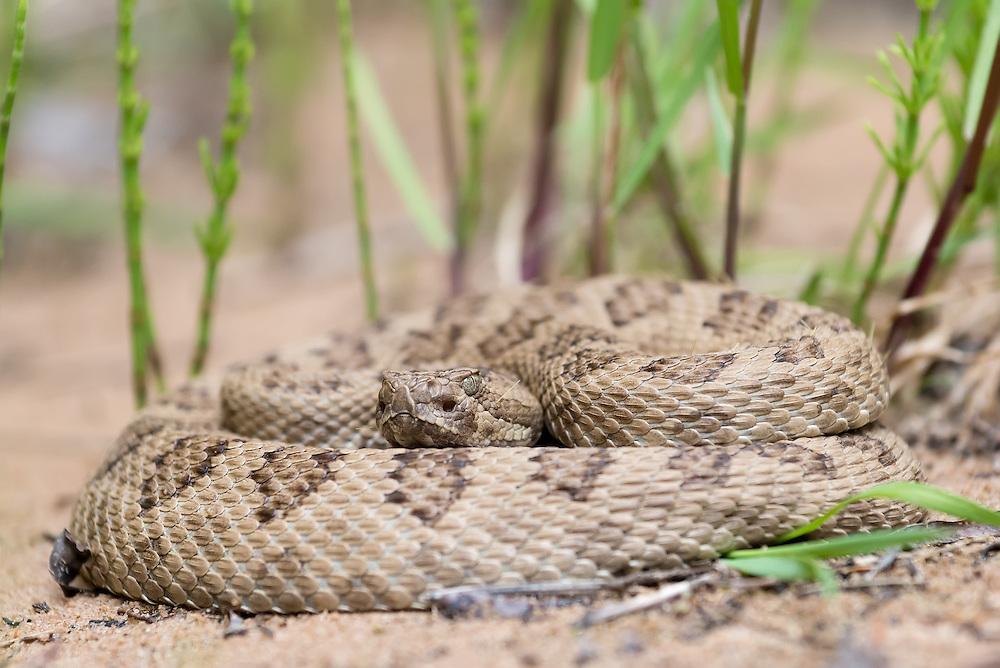 Western Rattlesnake in the Deep Creek Wilderness Study Area in Southern Utah.