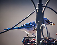 Blue Jay with a nut. Image taken with a Nikon D5 camera and 600 mm f/4 VR lens (ISO 320, 600 mm, f/4, 1/1250 sec)
