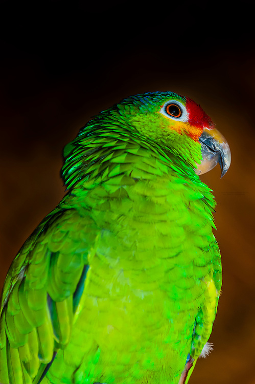 Lilac crowned parrot, Xcaret Park (Eco-archaeological Theme park), Riviera Maya, Quintana Roo, Mexico.