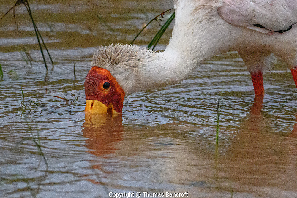 The long bill of a Yellow-billed Stork allows the bird to feed in water more than a foot deep. The bill is highly sensitive and when it touches a prey item, it snaps shut.