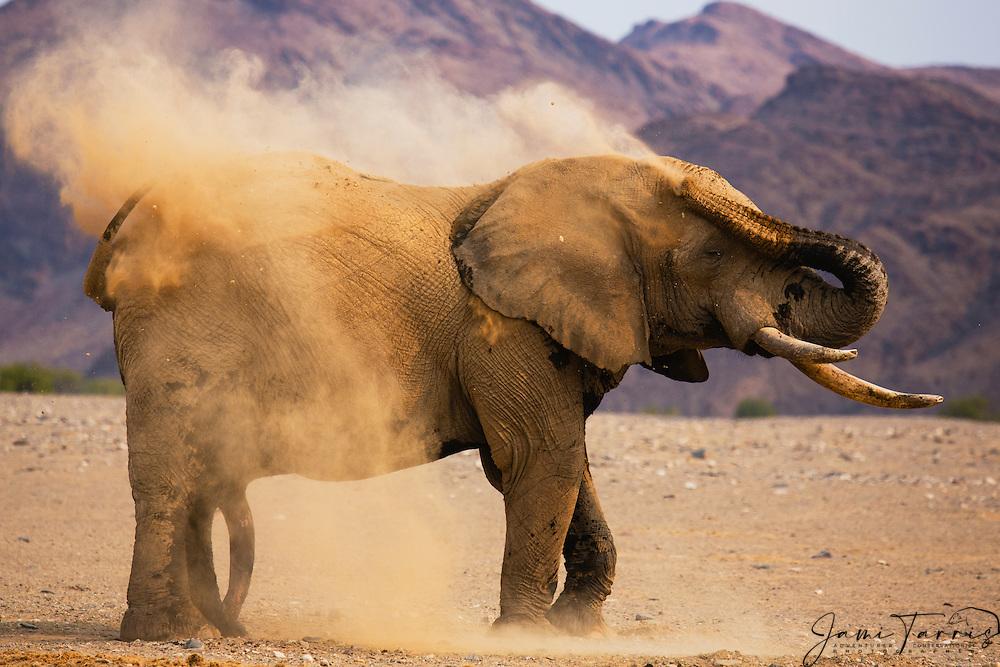 A desert-dwelling elephant dusting in the morning sunlight (Loxodonta africana africana), Skeleton Coast, Namibia,Africa