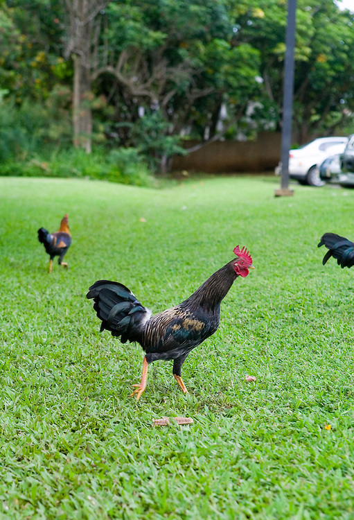 Roosters run amok all over the island of Kauai, the only main Hawaiian Island where mongooses were never introduced.