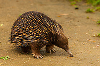 Echidna, Taronga Zoo, Sydney Harbor, Sydney, New South Wales, Australia