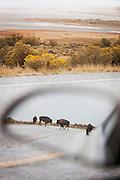 Bison herd seen in wind mirror, Antelope Island, Great Salt Lake, Utah, United States of America