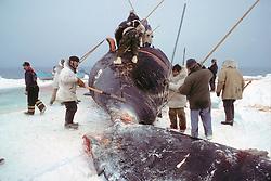 Harvesting Bowhead Whale