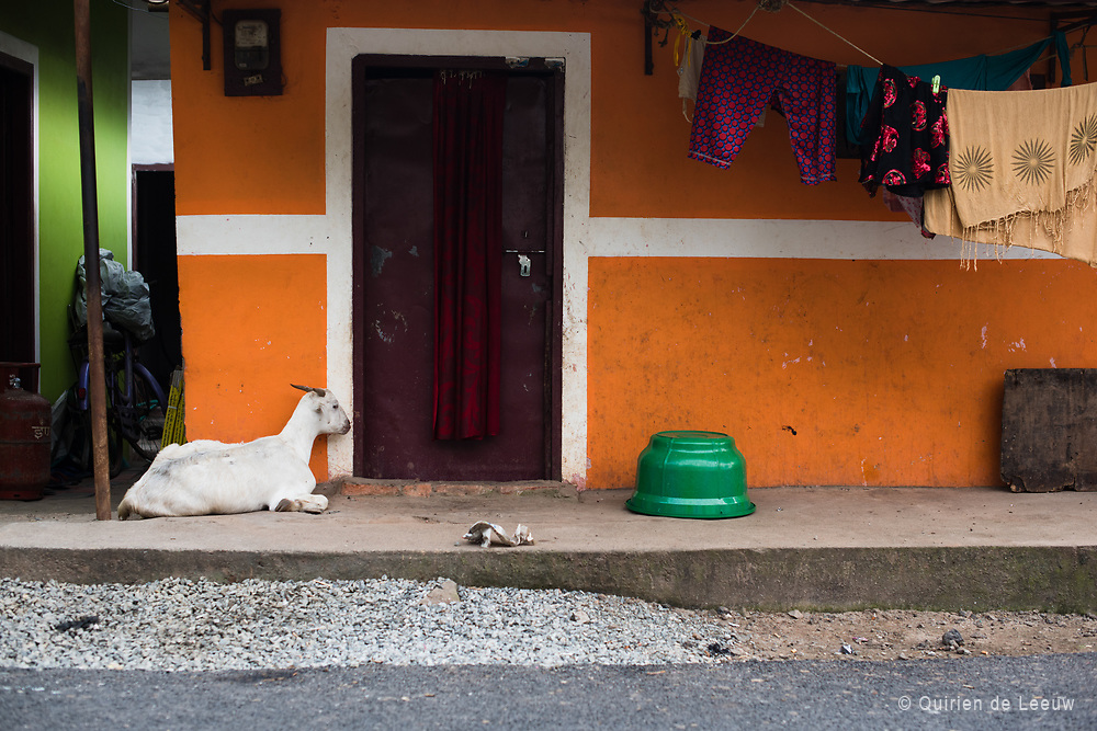 A goat laying in front of a small house, Alappuzha, India