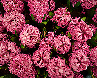 Pink hyacinths. Tulip festival at Keukenhof Gardens in Lisse, Netherlands. Image taken with a Leica X2 camera.