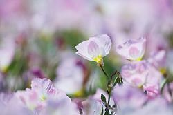 Pink Evening Primrose wildflowers off of FM 1382, Cedar Hill, Texas, USA.