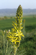 Yellow Asphodel Asphodeline lutea (Height to 1metre) Upright, hairless perennial. Mediterranean and southern Europe. Leaves, narrow, grey-green and mainly basal. Flowers yellow, star-shaped and 3-4cm across; borne on tall flower spikes, March-May. Grows on stony ground and garrigue.