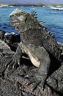 Marine Iguana (Amblyrhynchus cristatus), Fernandina island, Punta espinosa, Galapagos, Ecuador.
