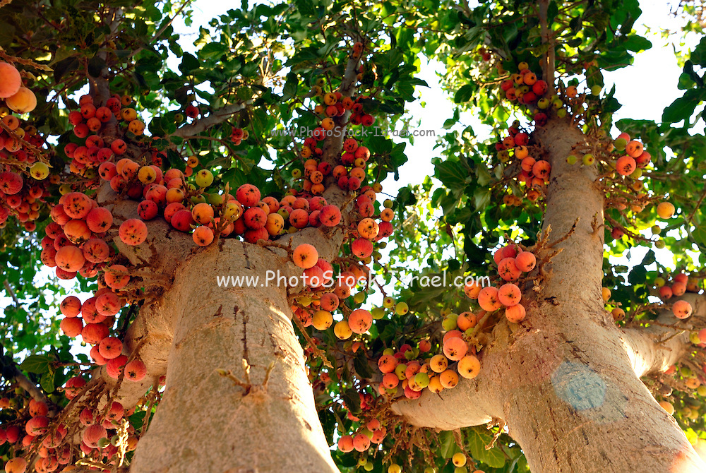 Israel, The ripe uneatable fruit of a Ficus sycomorus sycamore fig or fig-mulberry, native to the Middle East and eastern Africa. September 2007