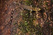 Trinidad Gecko (Gonatodes humeralis)<br /> Napo River bordering Yasuni National Park, Amazon Rainforest<br /> ECUADOR. South America