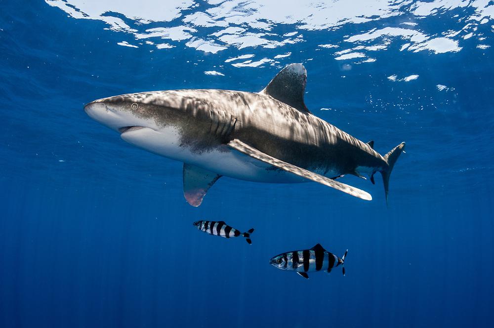 Oceanic whitetip shark (Carcharhinus longimanus) with Pilot fish (Naucrates ductor) near the surface of the ocean.