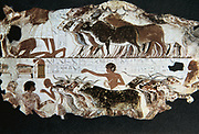 Herdsmen with cattle. Tomb of Nebarunun (Nebamun) c1350 BC, Thebes. At bottom left scribe is recording details of herd. Wall painting