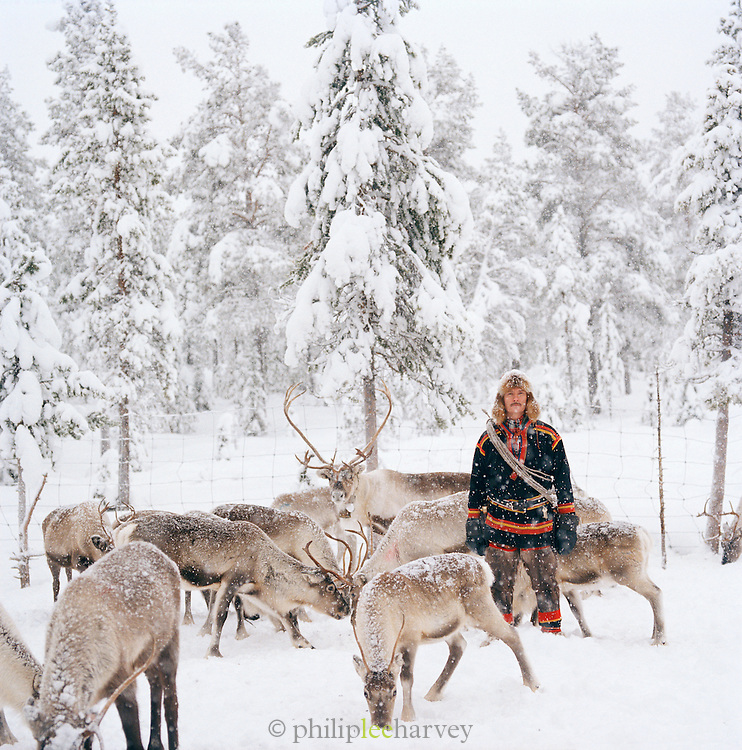 A Sami man with a herd of reindeer in the forest of Lapland, Sweden