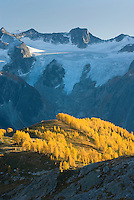 Alpine larches (Larix lyallii) in autumn foliage are lit by the evening sun, the Horseshoe Glacier is in the background. Purcell Mountains British Columbia.
