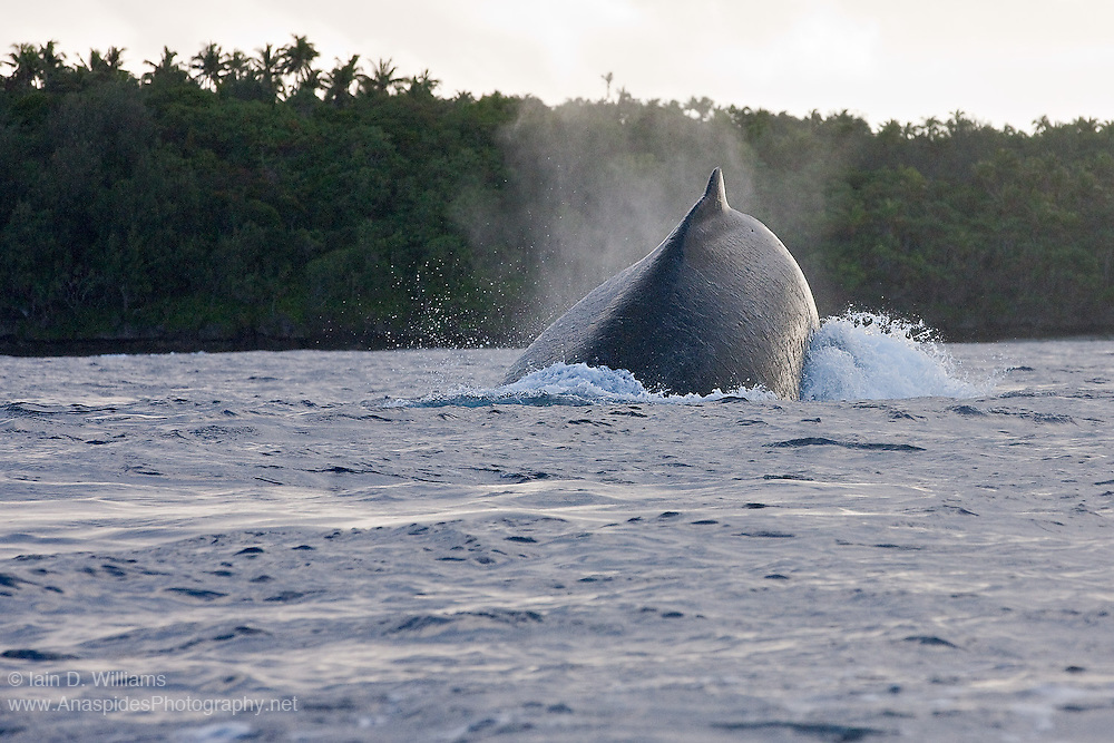 A humpback whale (Megaptera novaeangliae) dives beneath the boat during a mating run (heat run)