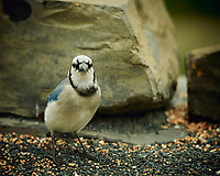 Blue Jay. Image taken with a Nikon D4 camera and 600 mm f/4 VR lens (ISO 360, 600 mm, f/4, 1/400 sec).