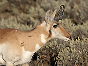 A pronghorn antelope buck (Antilocapra americana), basks in the evening sun in the Lamar Valley of Yellowstone National Park, Wyoming.