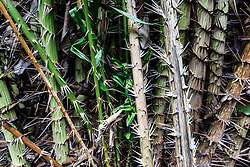 Spiked plant near Manuel Antonio National Park, Costa Rica.